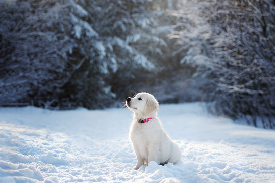 golden retriever puppy sitting in the forest in winter