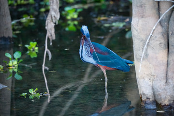 Rare wonderful Agami Heron foraging in shallow water under trees at river edge, Pantanal Wetlands, Mato Grosso, Brazil