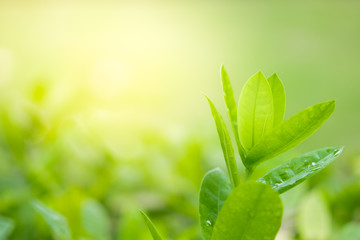 Close-up green leaf nature on blurred greenery background with copy space under sunlight using as a wallpaper - fototapety na wymiar