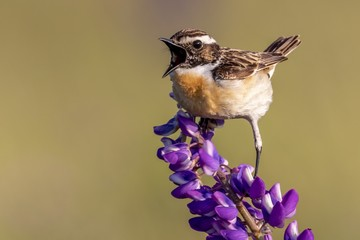Closeup shot of a house sparrow bird perched on a purple-petaled flower on a blurred background
