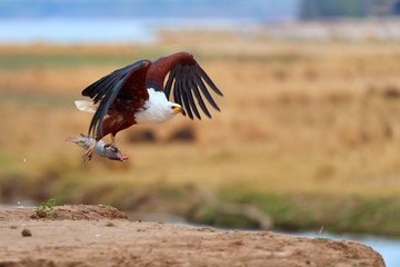 Animal action photo. African fish eagle with tilapia fish in claws,  flying directly to camera above the rim of riverbank against Zambezi river flood plains in background. Mana Pools, Zimbabwe. Wall mural