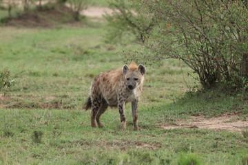Keuken foto achterwand Hyena Spotted hyena (crocuta crocuta) in the african savannah.