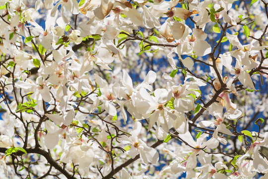 White magnolia flower on tree. Spring background. Soft focus