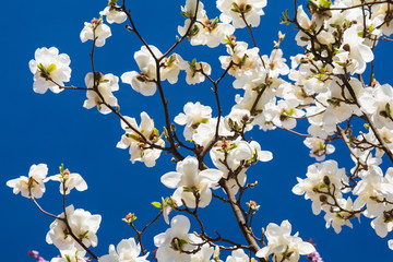White magnolia flower on tree against blue sky. Spring background. Soft focus