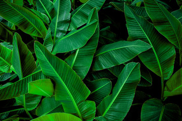 Wall Mural - tropical banana leaf texture in garden, abstract green leaf, large palm foliage nature dark green background