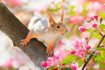 Foto op Plexiglas Eekhoorn portrait animal cute redhead squirrel sitting on a tree blooming pink Apple tree in the may garden