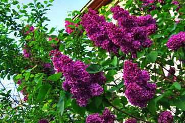 Foto op Aluminium Lilac beautiful purple lilac in the park