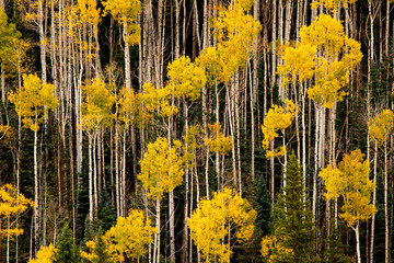 Yellow-leafed trees in the forest