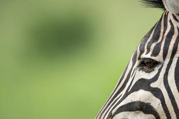 Zebra anbimal