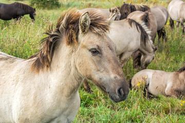 Beautiful wild horse (Konik) in front of its herd