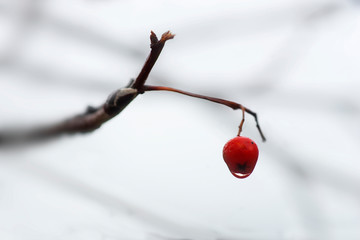 Single rowan berry with drop of water on branch on foggy rainy autumn day