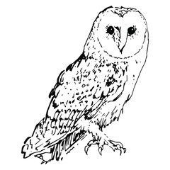 Isolated vector illustration of a barn owl. (Tyto alba). Hand drawn linear ink sketch. Black and white silhouette.