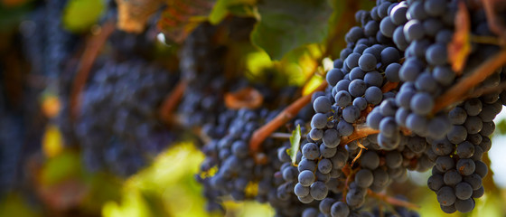 Fotorolgordijn Wijngaard Ripe blue grapes hanging on vineyard in autumn day