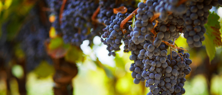 Bunch of blue grapes hanging on vineyard in autumn day