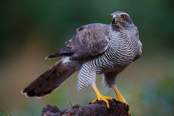 Northern goshawk in the forest in the south of the Netherlands Fototapete