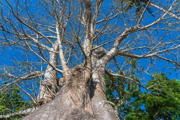 A large baobab tree on the beach in Zanzibar island, Tanzania, Africa