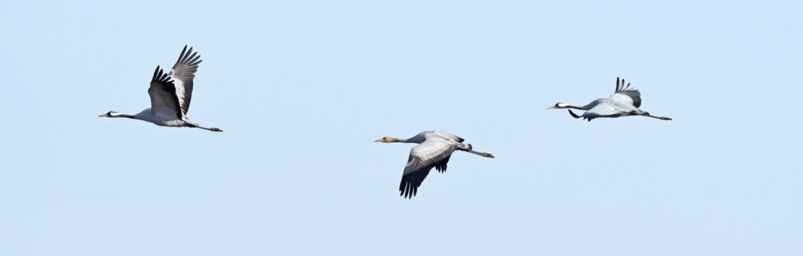 Kraniche (Grus grus) auf dem Zug - migrating cranes