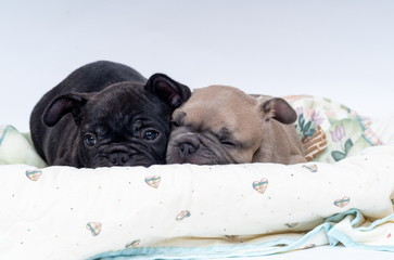 French Bulldog Puppies, sleeping in their bed