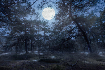 At night in a pine forest on the East German island of Ruegen in the Baltic Sea. The full moon shines romantically through the branches and illuminates the forest floor.