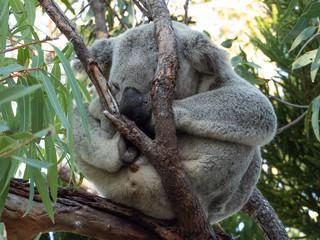 Canvas Prints Koala schläft australien