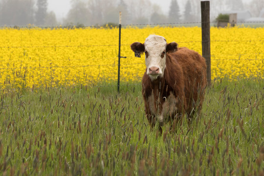 One Hereford cow standing in front of a yellow field of turnip