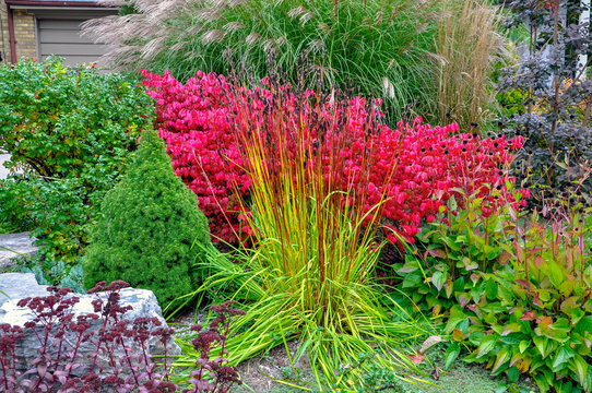 Beautiful textures and colours in this fall xeriscape garden include Iris siberica, euonymus alata commonly known as burning bush, roses, sedum and ornamental miscanthus grass.