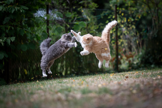 mid air shot of two jumping maine coon cats outdoors in the backyard playing, fighting and attacking each other