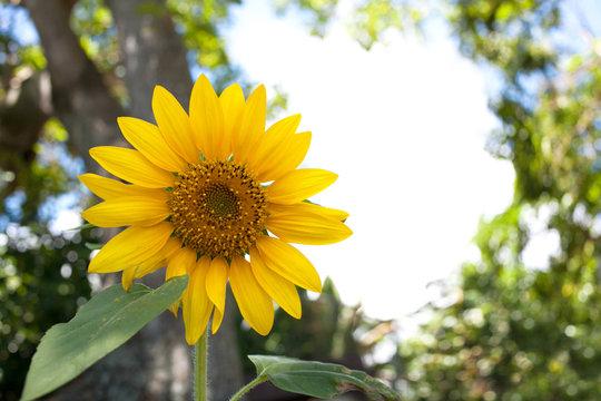 Wild sunflower growing under tree with open copyspace in background