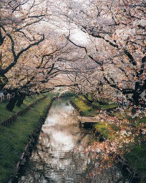 Tokyo Japan River Cherry Blossoms