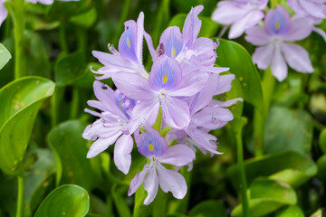 Close up of a Water Hyacinth with purple blossom, Pantanal Wetlands, Mato Grosso, Brazil