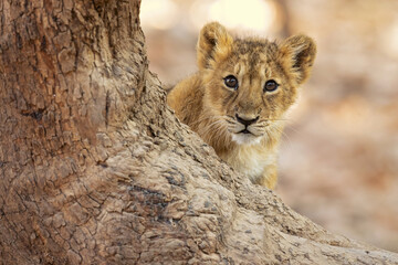 Asiatic lion is a Panthera leo leo population in India. Its range is restricted to the Gir National Park and environs in the Indian state of Gujarat. Wall mural