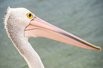 Portrait of pelican