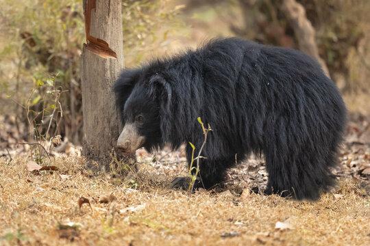 Sloth bear (Melursus ursinus) is a myrmecophagous bear species native to the Indian subcontinent.
