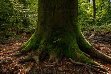 Moosbewachsener Baumstamm in einem herbstlichen Wald im Gegenlicht