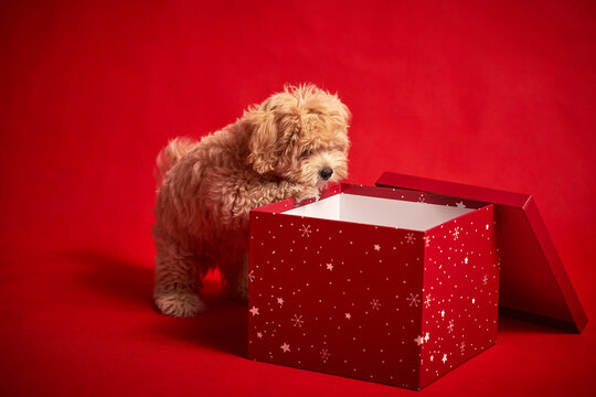little puppy playing with a box of Christmas presents on a red background