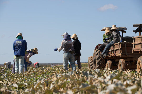 farm workers harvesting melons in brasil on a bright day using a tractor