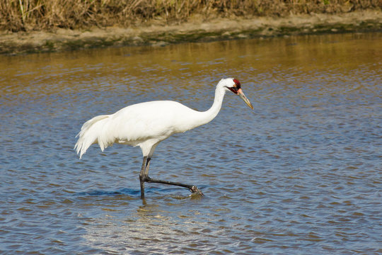 Whooping Crane (Grus americana) on the wintering grounds in South Texas