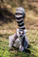 Ring-tailed lemur staring at camera (Lemur catta), Anja Reserve, Madagascar