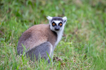 Ring-tailed lemur in the grass (Lemur catta), Anja Reserve, Madagascar