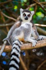 Ring-tailed lemur looking at camera (Lemur catta), Anja Reserve, Madagascar