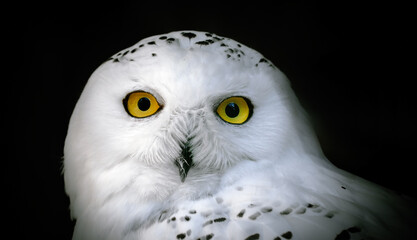 Wall Mural - Head of adult white snowy owl close up on a black background.