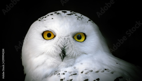 Wall mural Head of adult white snowy owl close up on a black background.