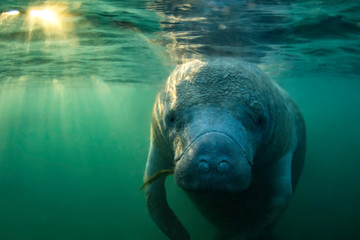 Curious West Indian Manatee enjoying the warm spring water during a cold snap in Crystal River, Florida (USA).