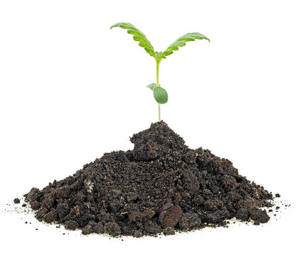 Cannabis sprout grows from the soil, white background.