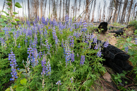 Wildfire Recovery Flowers