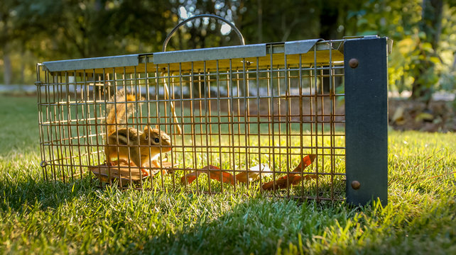 Chipmunk in live humane trap. Pest and rodent removal cage. Catch and release wildlife animal control service.