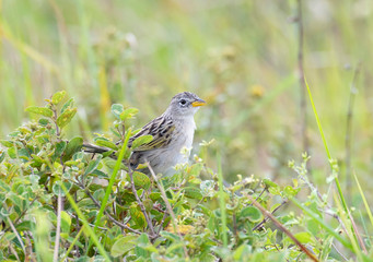wedge-tailed grass finch (Emberizoides herbicola)