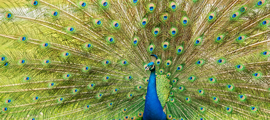 Fotobehang Pauw Beautiful peacock outdoors in the daytime.