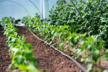 Close up of organic pepper plants and drip irrigation system in a greenhouse - selective focus