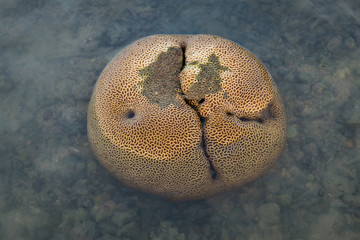 Brain coral during low tide